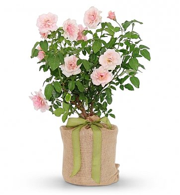 rose bush pearl mother plants gift magnolia potted gifts 1stopflorists break wednesday edition why take keeps living company larger gifttree