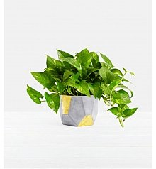 Plants: Golden Pothos Tabletop Plant