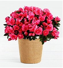 Plants: Hot Pink Azalea Plant
