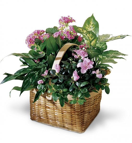 The Pink Assortment - Same Day Flower Delivery Plants make a fresh, lasting gift for any occasion. This enchanting assortment of pink blooming plants in a wicker basket will brighten up their day. The pink blossoms add a lighthearted contrast to the vibrant green plants. Basket and flowers will vary by location. Gift Includes: Designer's Choice of Assorted Pink Flowering Plants. Stylish Planter Basket. Features: A free gift card with personal message. Arrives in a stylish basket planter with fresh water, ready to be displayed. Hand delivered to the recipient's home or office by experienced florists. A plush teddy bear, balloons, wine, champagne, or chocolates may be added to your order based on availability. Please contact customer service for more information. During checkout, please be sure to indicate your preferred occasion when you choose a gift card. Exact plant and basket may vary depending upon location and availability. Same day delivery is available if you place your order by 2pm in your recipient's time zone, M-F and by 1pm on Saturday. To see if Sunday delivery is available in your area please contact customer service.